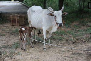 Just born calf! at Navadarshanam