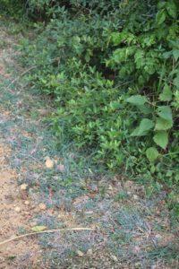 Purple haze grass! at Navadarshanam